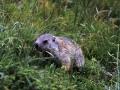 5.Cadagno - marmotta giovane 2000