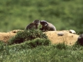 8.Cadagno - marmottine 2000