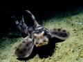 Horn shark 415