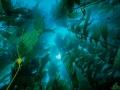 Kelp 84