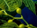 Kelp foglie 71