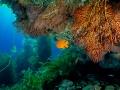 Kelp+gorgonie+garibaldi 381