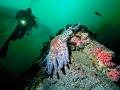 Stella-gigante-+kelp+sub-14