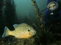 Pesce-Sole--sub-326