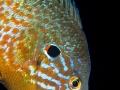 Pesce-Sole--sub-350