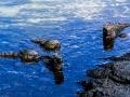 01N Iguane in acqua 199