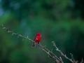 02a Passero rosso a Santa Cruz- 32