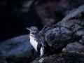 72 Bartolomé - pinguino 272_