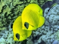 Farfalla limone  241a