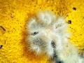 Anemone-su-spugna-gialla-92-b