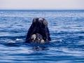Balena-boreale-177--ONDA