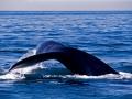 Balena-boreale---coda-182--ONDA