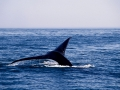 Balena-boreale---coda-183