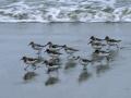 Limicoli-sulla-spiaggia