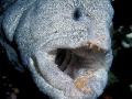 Pesce lupo 135