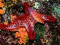 Cirrhitichthys-su-stella-270-a
