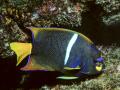 Pesce Angelo 279