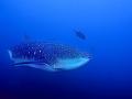 Squalo-balena-3--a
