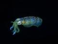 Calamaro 352
