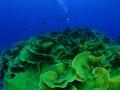 Corallo a rose verde + sub 370