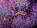 Pagliacci su anemone lilla 894