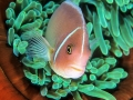 Pagliacci su anemone rossa 450 a