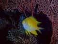 Pesce giallo su gorgonia 11.27