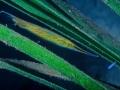 Pesce rasoio 831
