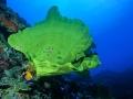 Spugna gialla+ Pesce angelo 291